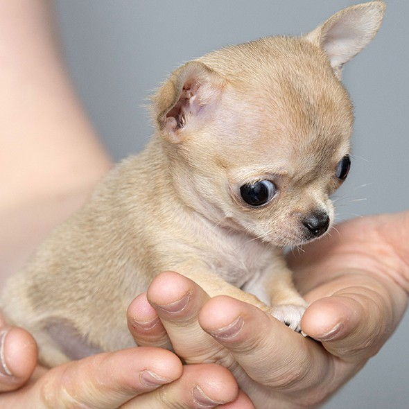 meet toudi the worlds smallest chihuahua cute dogs